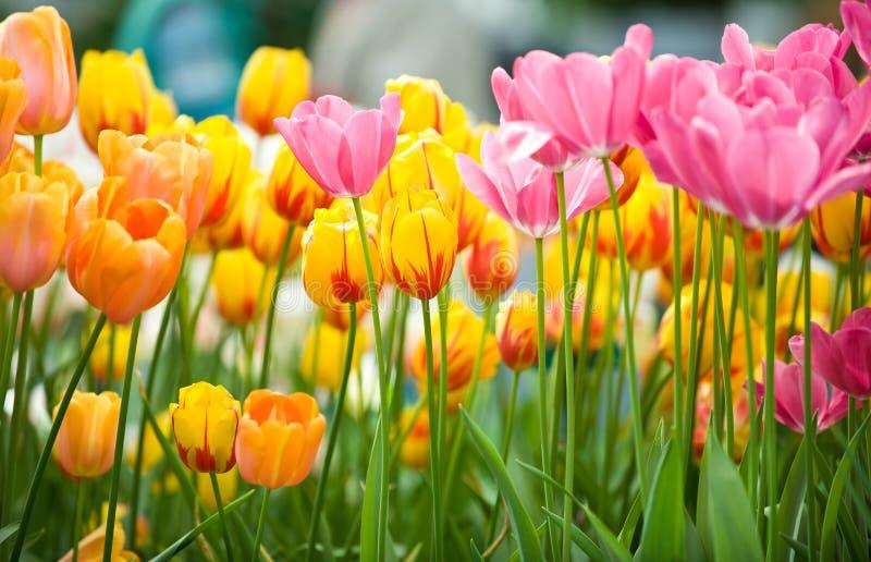 Οι κίτρινες, ρόδινες, πορτοκαλιές φρέσκες τουλίπες με πράσινο βγάζουν φύλλα στοκ φωτογραφίες