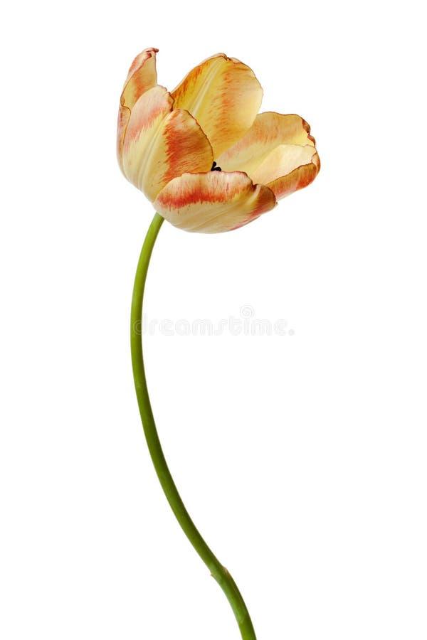Οι κίτρινες τουλίπες λουλουδιών τουλιπών ανθίζουν Floral στοκ εικόνες