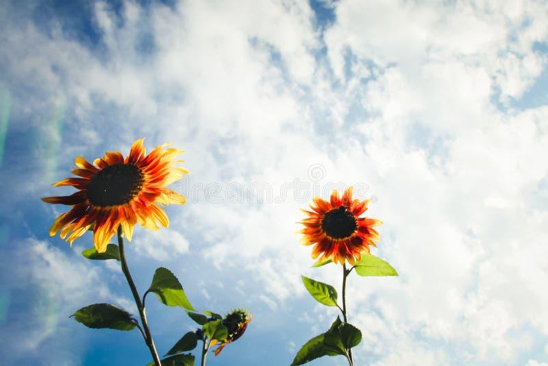 Οι κίτρινοι και πορτοκαλιοί ηλίανθοι με τον πράσινο μίσχο ενάντια σε έναν ηλιόλουστο μπλε ουρανό με τα σύννεφα και το φακό καίγον στοκ εικόνες με δικαίωμα ελεύθερης χρήσης