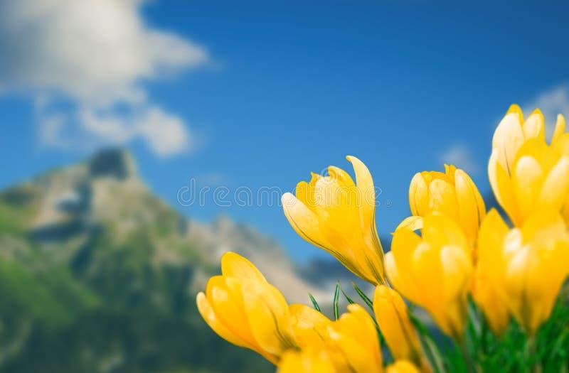 Οι κίτρινοι κρόκοι είναι στο υπόβαθρο βουνών, άνοιξη στοκ φωτογραφίες