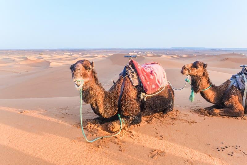 Οι καμήλες με τη σέλα στην πλάτη που βρίσκεται σε έναν αμμόλοφο άμμου στη Σαχάρα εγκαταλείπουν, Merzouga, Μαρόκο στοκ εικόνα