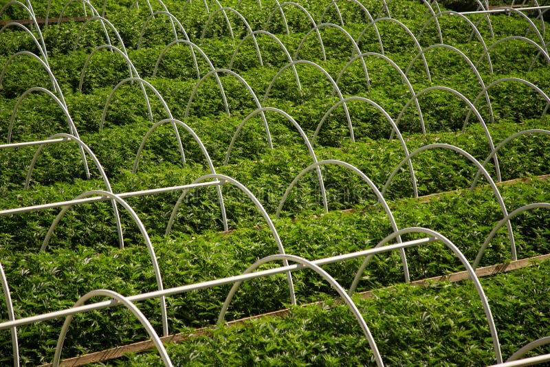 Οι καννάβεις καλλιεργούν τις σειρές στοκ εικόνα με δικαίωμα ελεύθερης χρήσης