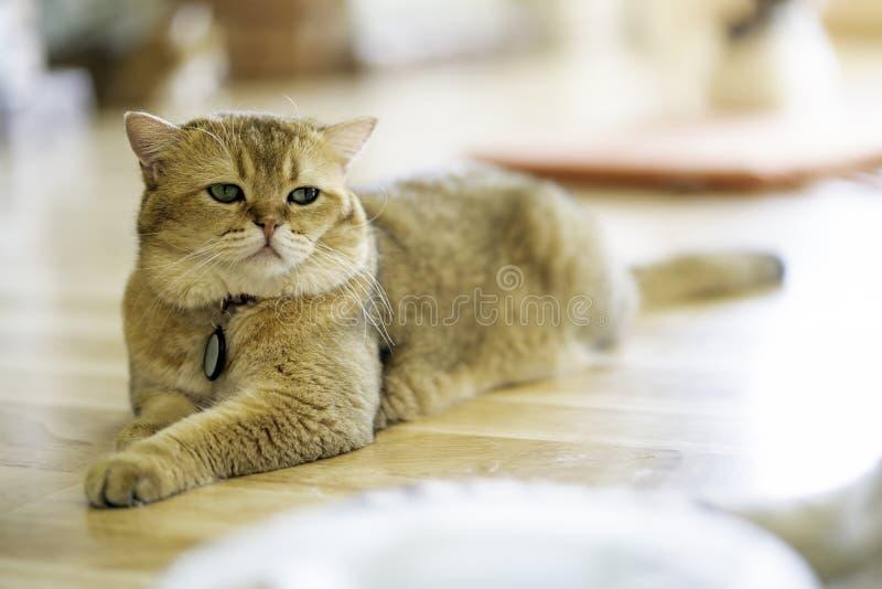 Οι καφετιές γάτες κάθονται ευτυχώς στο πάτωμα στο δωμάτιο Άσπρο τέσσερις-με πόδια ζώο Χαριτωμένα θηλαστικά Κατοικίδια ζώα στο σπί στοκ εικόνες