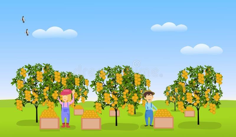 Οι κηπουροί ανδρών και γυναικών συλλέγουν τα εσπεριδοειδή σε έναν πορτοκαλή κήπο στην πράσινη χλόη διανυσματική απεικόνιση