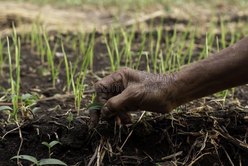 Οι κηπουροί αφαιρούν τη χλόη από τις πλοκές σκόρδου στοκ φωτογραφίες με δικαίωμα ελεύθερης χρήσης