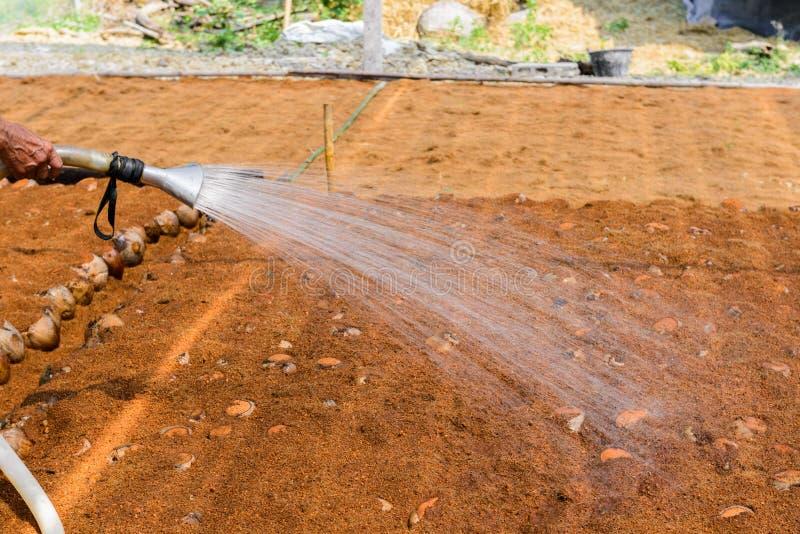 Οι κηπουροί ποτίζουν στις φυτείες αρώματος καρύδων για τις φυλές στοκ φωτογραφίες με δικαίωμα ελεύθερης χρήσης