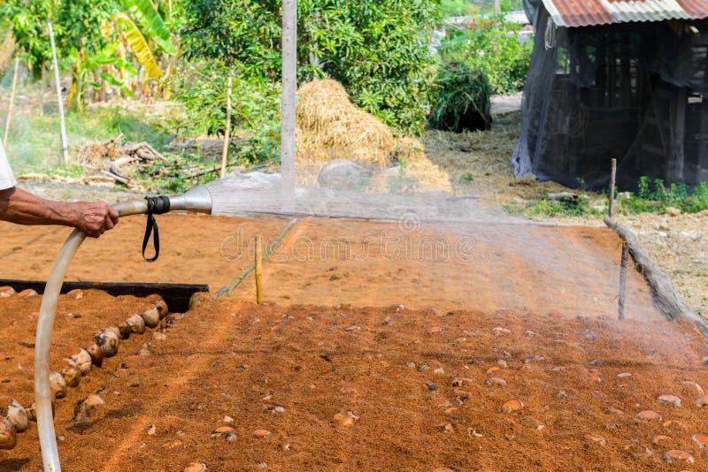 Οι κηπουροί ποτίζουν στις φυτείες αρώματος καρύδων για τις φυλές στοκ εικόνα με δικαίωμα ελεύθερης χρήσης
