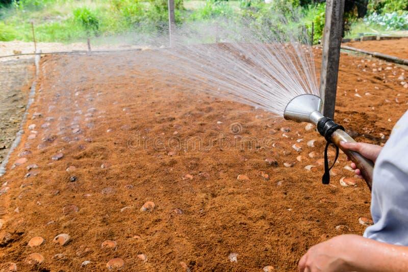 Οι κηπουροί ποτίζουν στις φυτείες αρώματος καρύδων για τις φυλές στοκ εικόνα