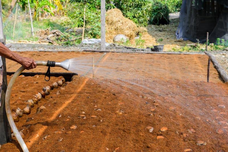 Οι κηπουροί ποτίζουν στις φυτείες αρώματος καρύδων για τις φυλές στοκ εικόνες