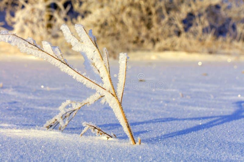 Οι κλάδοι του θάμνου στον κρύο παγετό φωτίζονται από έναν φωτεινό και ευγενή ήλιο στα πλαίσια ενός χιονισμένου στοκ εικόνες με δικαίωμα ελεύθερης χρήσης
