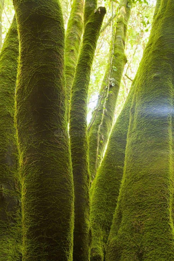 Οι κορμοί των δέντρων που καλύπτονται με το πράσινο βρύο στο α το δάσος στο νησί του Λα Palma, Κανάρια νησιά, Ισπανία στοκ εικόνα