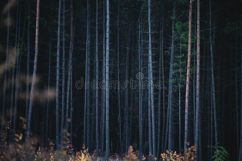 Οι κορμοί φλοιών του πυκνού κωνοφόρου δάσους στοκ φωτογραφία με δικαίωμα ελεύθερης χρήσης
