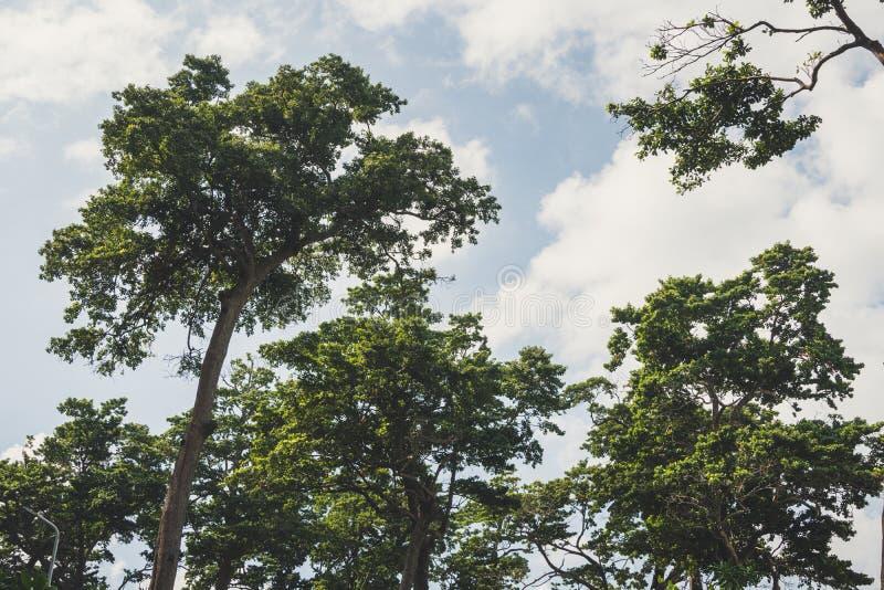 Οι κορυφές των δέντρων πεύκων σε ένα υπόβαθρο του μπλε στοκ εικόνες με δικαίωμα ελεύθερης χρήσης