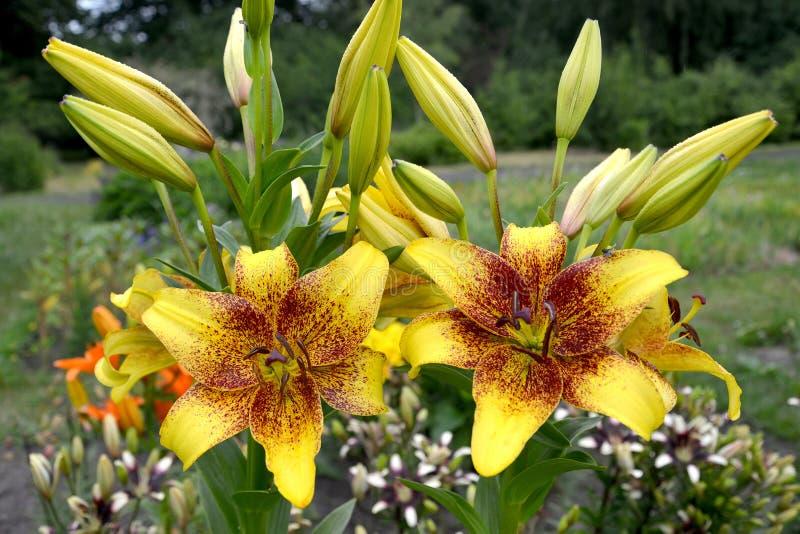 Οι κρίνοι κίτρινοι, ένας βαθμός χρυσού πέτρινου Lilium ασιατικού αυξάνονται σε έναν κήπο στοκ εικόνα