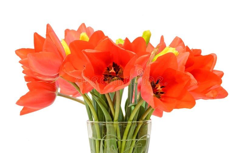 Οι κόκκινες τουλίπες ανθίζουν, floral ρύθμιση (ανθοδέσμη), σε ένα διαφανές βάζο, άσπρο υπόβαθρο στοκ φωτογραφίες