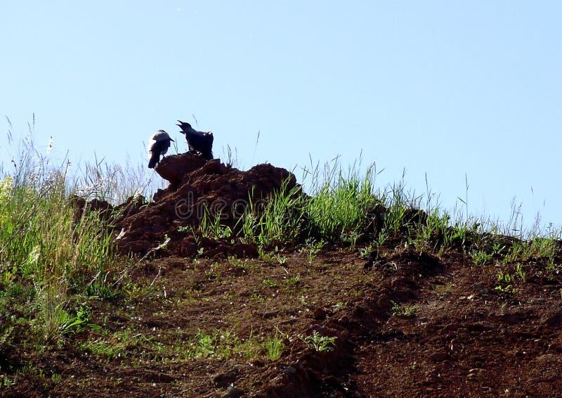 Οι κόρακες κάθονται στο έδαφος στοκ εικόνες