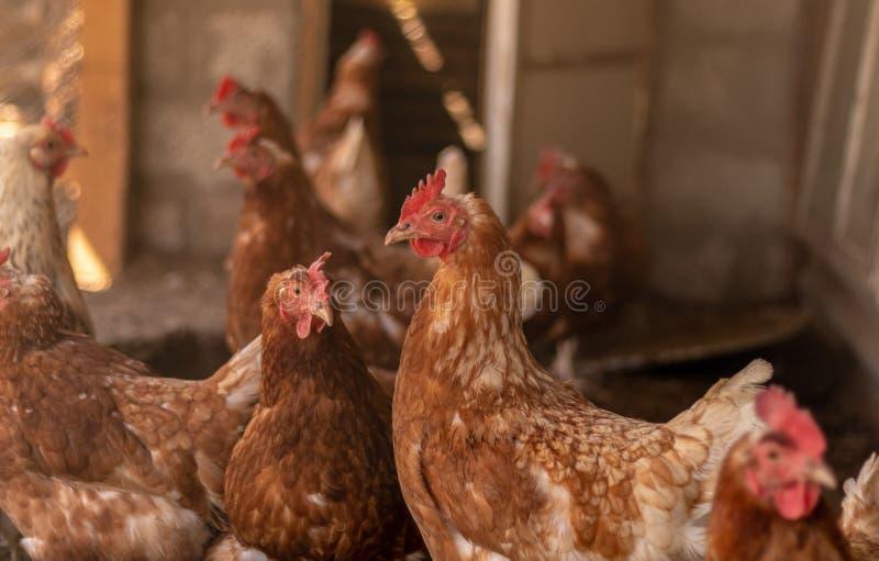 Οι κότες στο κοτέτσι κοτόπουλου βγήκαν για έναν περίπατο και πρόσεξαν στο amazement στοκ φωτογραφία