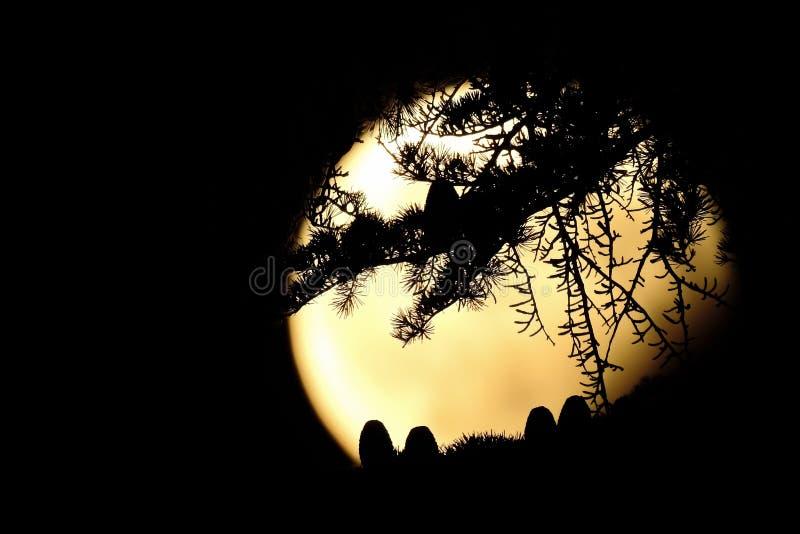Οι κώνοι και οι βελόνες ενός δέντρου cedrus σκιαγραφούνται ενάντια στο φεγγάρι ανόητων στοκ εικόνες με δικαίωμα ελεύθερης χρήσης