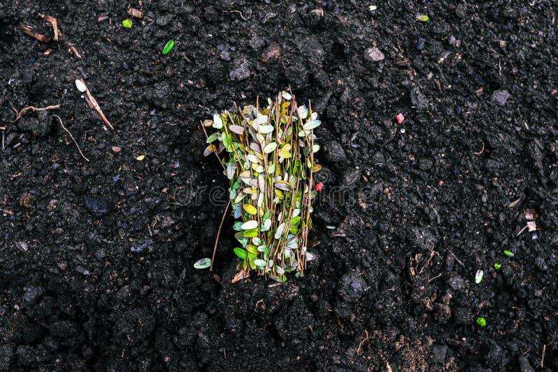 Οι λεπτοί πράσινοι μίσχοι με τα μικρά φύλλα βρίσκονται στο έδαφος Μια ανθοδέσμη των νεαρών βλαστών για τη φύτευση στο έδαφος Αυξα στοκ εικόνες με δικαίωμα ελεύθερης χρήσης