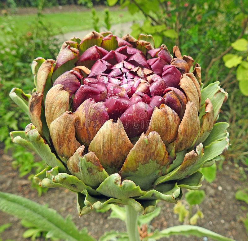 Οι λοβοί σπόρου με το ακιδωτό φύλλο φύλλων το κεφάλι αγκιναρών σφαιρών λουλουδιών στοκ εικόνες με δικαίωμα ελεύθερης χρήσης