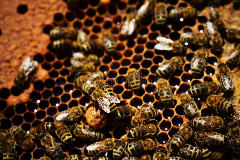 Οι μέλισσες είναι στην εργασία στοκ εικόνα με δικαίωμα ελεύθερης χρήσης