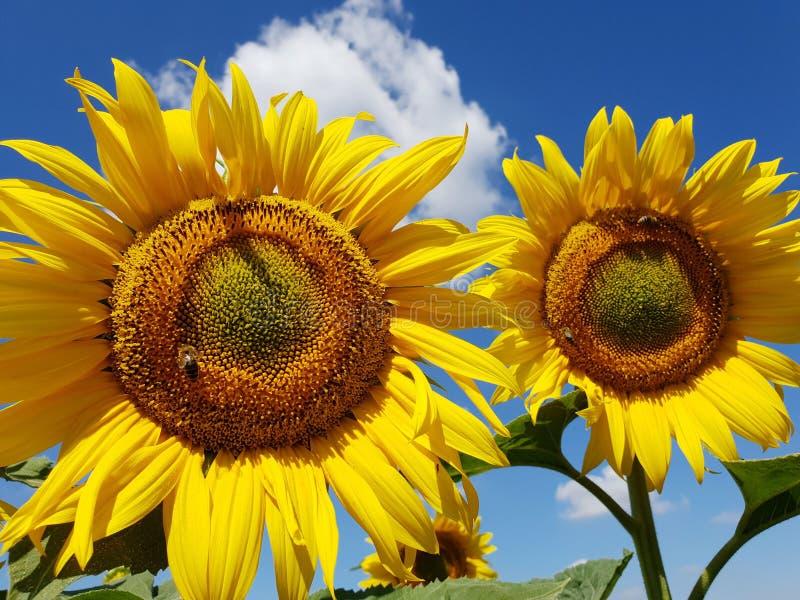 οι μέλισσες επικονιάζουν τα λουλούδια ηλίανθων στον τομέα στοκ φωτογραφία με δικαίωμα ελεύθερης χρήσης