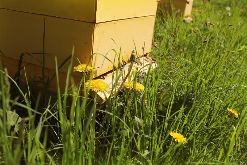 Οι μέλισσες επιστρέφουν στις κυψέλες κατά τη διάρκεια του μέρους συγκομιδών της μύγας μελισσών πλησίον των κυψελών στοκ φωτογραφία με δικαίωμα ελεύθερης χρήσης