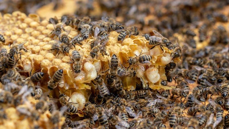 Οι μέλισσες εργάζονται σε μια ανοικτή κυψέλη, η οποία εξυπηρετεί έναν μελισσοκόμο στοκ εικόνες