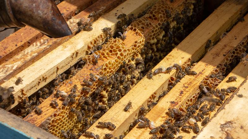 Οι μέλισσες εργάζονται σε μια ανοικτή κυψέλη, η οποία εξυπηρετεί έναν μελισσοκόμο στοκ φωτογραφία με δικαίωμα ελεύθερης χρήσης