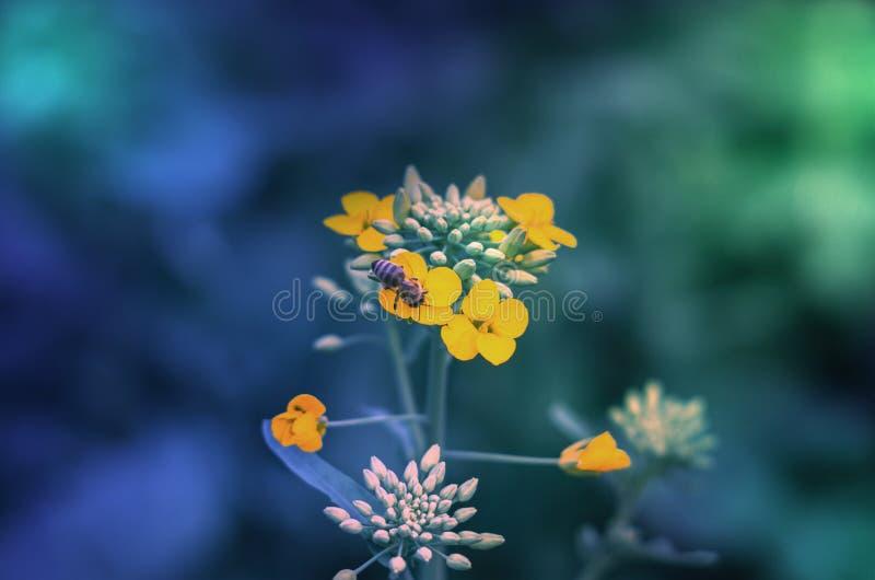 Οι μέλισσες στο βιασμό στοκ εικόνες