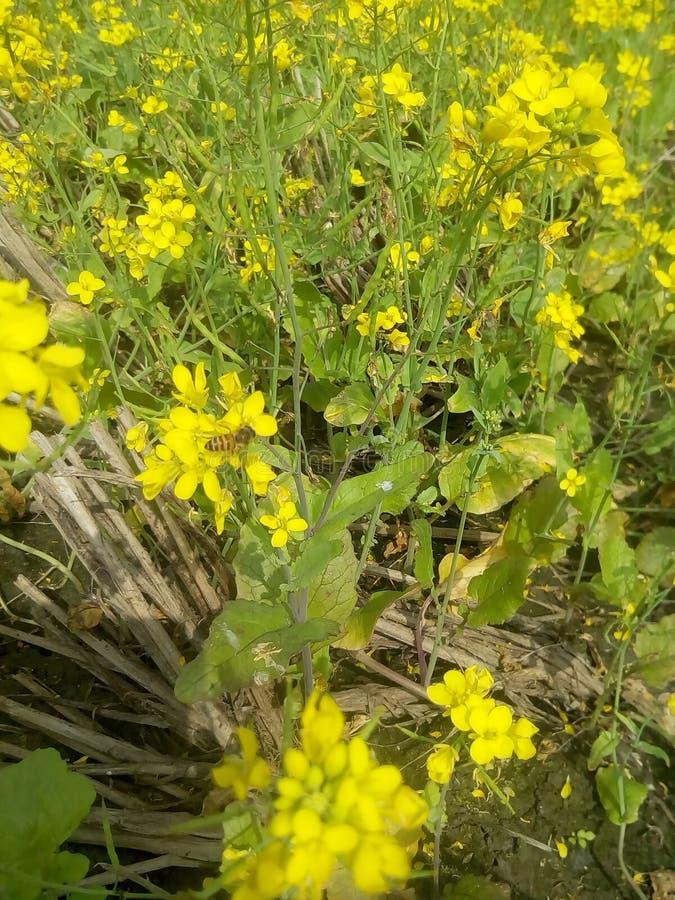 Οι μέλισσες συλλέγουν τα λουλούδια μουστάρδας μελιού στοκ εικόνα