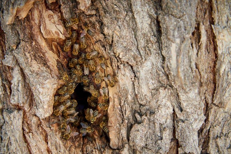 Οι μέλισσες συλλέγουν το μέλι σε μια άγρια κυψέλη στην κοιλότητα στοκ φωτογραφία με δικαίωμα ελεύθερης χρήσης