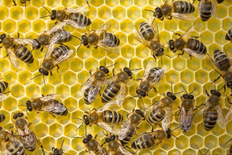 Οι μέλισσες χτίζουν τις κηρήθρες Εργασία σε μια ομάδα στοκ φωτογραφίες