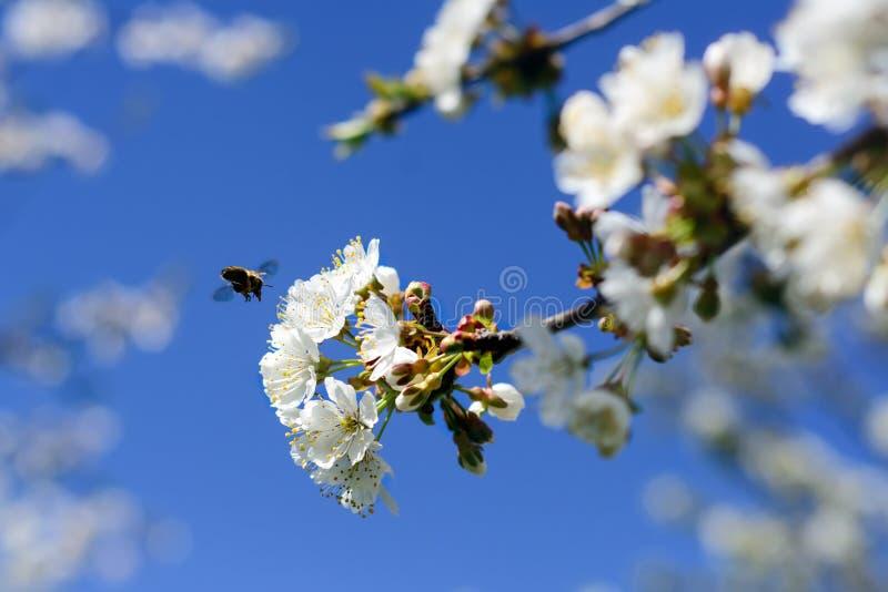 Οι μέλισσες επικονιάζουν τα λουλούδια των δέντρων άνοιξη Μελισσοκομία eps διάνυσμα φυτών εντόμων απεικόνισης jpeg στοκ φωτογραφία με δικαίωμα ελεύθερης χρήσης