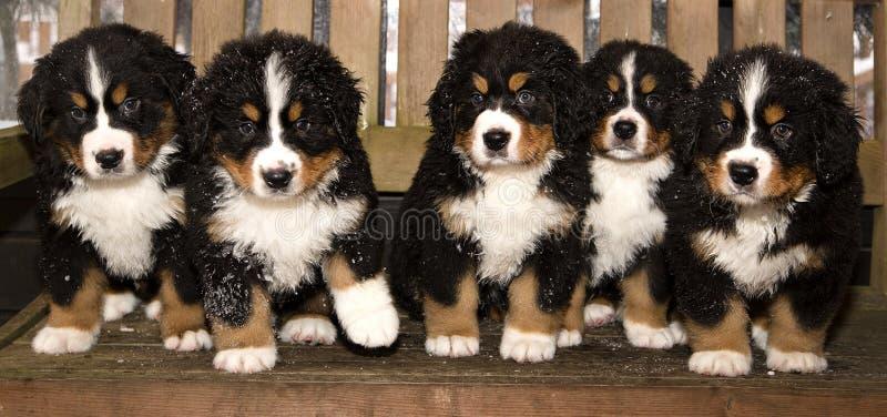 Οι μαριονέτες σκυλιών βουνών Bernese είναι τελικά κατ' οίκον στοκ εικόνες