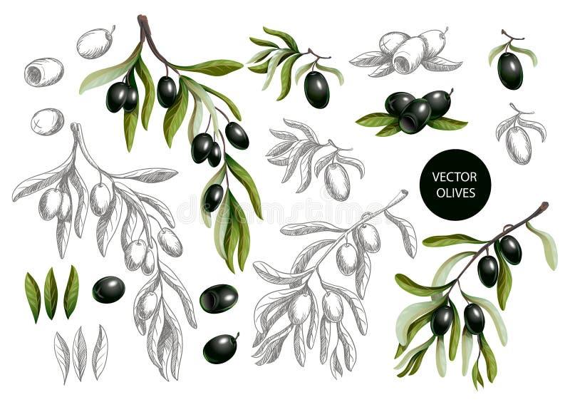 Οι μαύρες ελιές διακλαδίζονται στο γραφικό και ρεαλιστικό ύφος που απομονώνεται στο άσπρο υπόβαθρο, διανυσματική απεικόνιση ελεύθερη απεικόνιση δικαιώματος