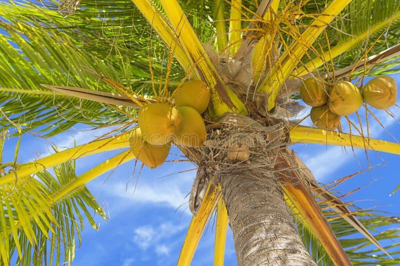 Οι μεγάλες κίτρινες καρύδες κρεμούν σε έναν φοίνικα ενάντια σε έναν μπλε ουρανό, η άποψη από κάτω από στοκ φωτογραφία με δικαίωμα ελεύθερης χρήσης