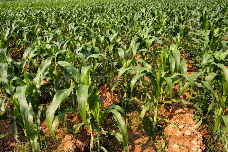 Οι μεγάλοι τομείς καλαμποκιού είδαν το φυτό καλαμποκιού που ήταν ακριβώς να αυξηθεί φυτον μαζί στους μεγάλους αριθμούς με τα βερα στοκ φωτογραφία