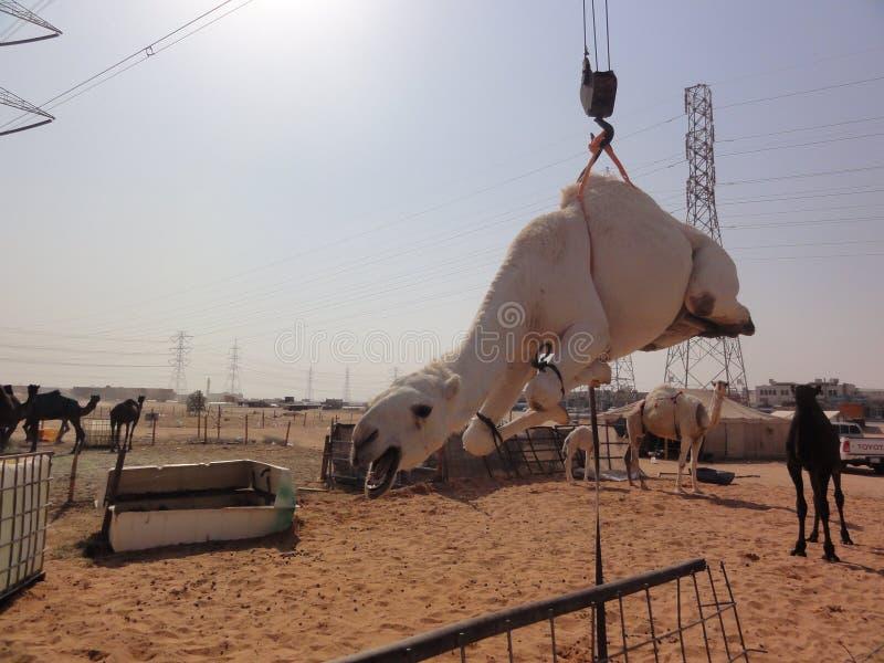 Οι Μεσο-Ανατολικές καμήλες στην έρημο στοκ εικόνες με δικαίωμα ελεύθερης χρήσης