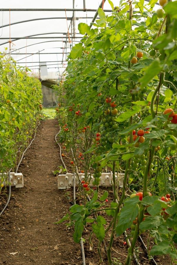 Οι μικρές οργανικές ντομάτες αυξάνονται στην άμπελο στο μεγάλο θερμοκήπιο στοκ φωτογραφίες με δικαίωμα ελεύθερης χρήσης