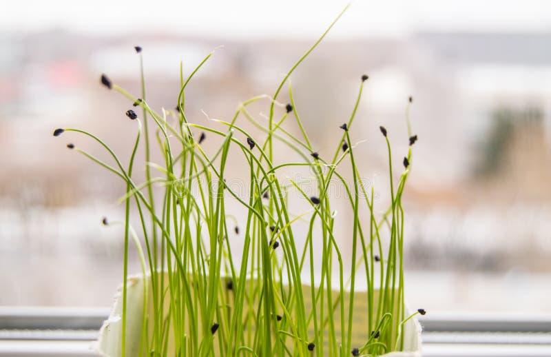 Οι νέοι βλαστοί των εγκαταστάσεων βλάστησαν από το σπόρο, η έννοια του βήματος της καλλιέργειας των σπόρων των γεωργικών εγκαταστ στοκ φωτογραφία με δικαίωμα ελεύθερης χρήσης