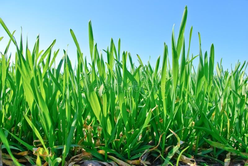 Οι νέοι βλαστοί του σιταριού στο υπόβαθρο του μπλε ουρανού στοκ φωτογραφία με δικαίωμα ελεύθερης χρήσης