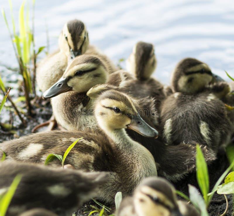 Οι νεοσσοί στην πλευρά μιας λίμνης κλείνουν επάνω στοκ φωτογραφία με δικαίωμα ελεύθερης χρήσης
