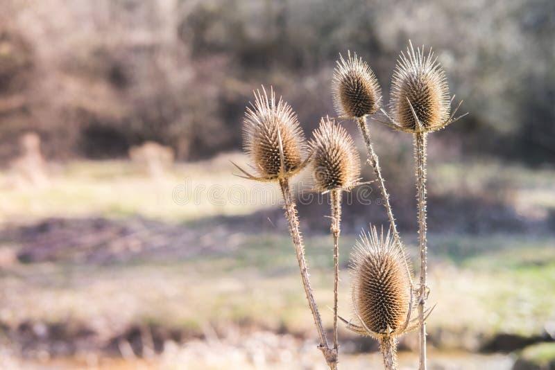 Οι ξηρές σπονδυλικές στήλες λουλουδιών στη φύση στο δασικό άγριο αγκάθι φυτεύουν την υπαίθρια χλωρίδα στοκ φωτογραφία με δικαίωμα ελεύθερης χρήσης