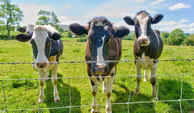 οι οδοντωτές πίσω αγελά&delt στοκ εικόνες