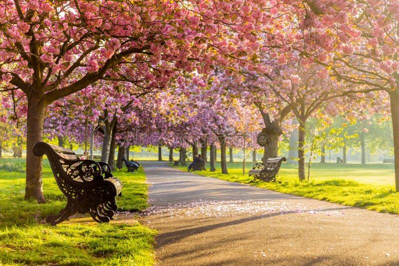 Οι πάγκοι σε μια πορεία με την πράσινο χλόη και το άνθος ή το sakura κερασιών ανθίζουν στοκ φωτογραφία με δικαίωμα ελεύθερης χρήσης
