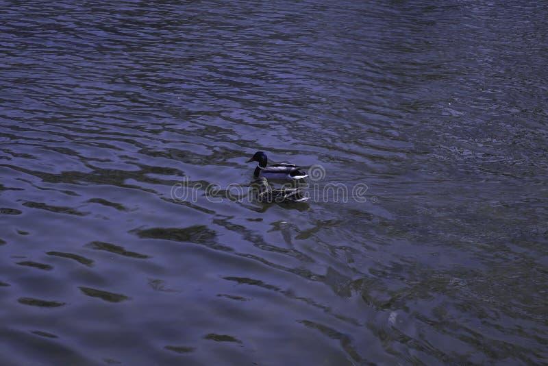 Οι πάπιες πρασινολαιμών κολυμπούν σε μια λίμνη στοκ εικόνες