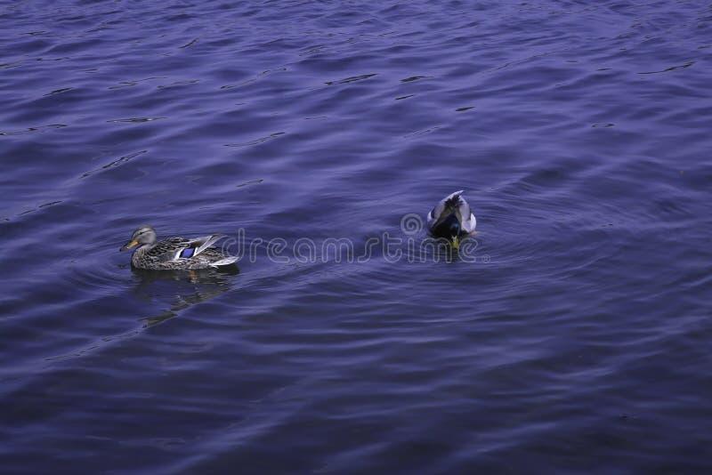 Οι πάπιες πρασινολαιμών κολυμπούν σε μια λίμνη στοκ εικόνα