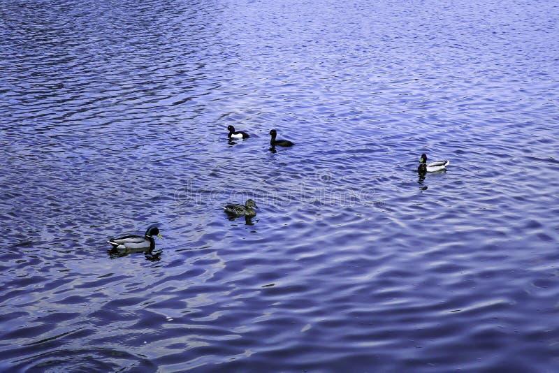 Οι πάπιες πρασινολαιμών κολυμπούν στη λίμνη στοκ φωτογραφία με δικαίωμα ελεύθερης χρήσης
