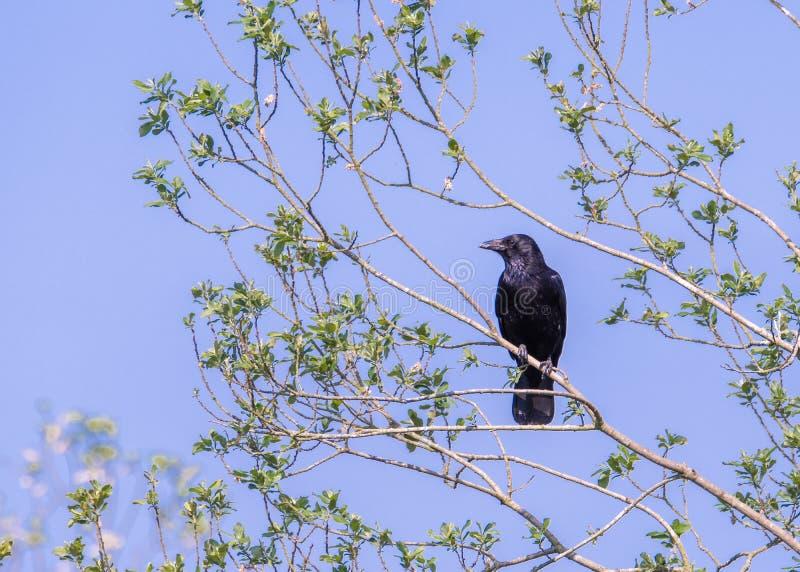 Οι πέρκες carrion κοράκων σε ένα δέντρο διακλαδίζονται κάτω από έναν μπλε ουρανό, lookin στοκ φωτογραφία με δικαίωμα ελεύθερης χρήσης